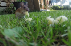 Mouse caught eating cheese in back garden is unbelievably cute
