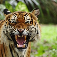 Man sent to jail... for buying and eating three tigers