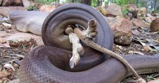 Ever wanted to see a python eat a wallaby? You're in luck