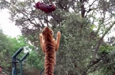 Watch a tiger jump impossibly high to grab a piece of meat