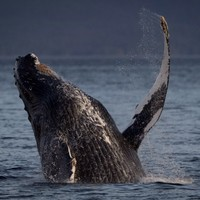 Kerry humpback whales to appear on BBC tonight (and --- believe it or not --- there's a Charlie Haughey connection)