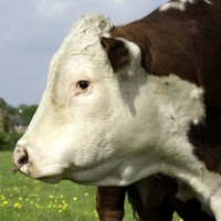 Seek muscular male with quality rump? Irish bulls could soon be online dating