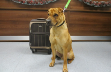 This young dog was found at a railway station with a suitcase of his belongings