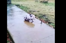 This tiny pig sliding on the ice is just....