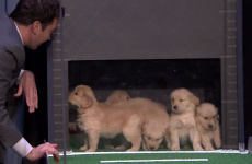Everybody be cool... but Jimmy Fallon got a load of puppies to predict the college football decider!