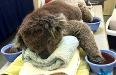 People are being asked to make mittens for koalas with burned paws