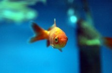 Goldfish survive 134 days without food after NZ quake