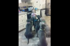 Watch this four-year-old girl expertly feed and control six pitbulls