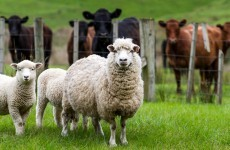 Man arrested for stealing sheep, goats, lambs and a ram