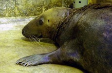 Dumbledore, the seal found stranded in an English field, has died