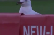 Seagull gets killed by cricket ball, resurrects and receives standing ovation