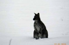 There's a kangaroo on the loose in Austria (NOT Australia)