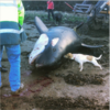 An orca washed up on a Waterford beach yesterday