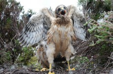 Rare protected bird shot dead in Kerry
