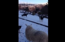 This confused lamb was raised with collies and thinks she's a dog