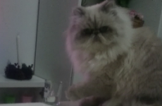 World's rudest cat defies owner, knocks glass off table