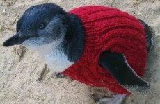 The oldest man in Australia spends his time knitting tiny jumpers for tiny penguins