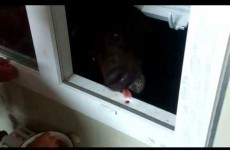 Worst idea ever? - Russian guy feeds massive bear from his window