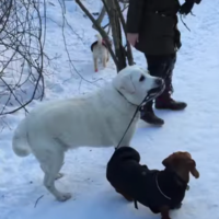 Old Labrador thinks it's his job to walk younger dachshund