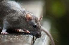 Killer of over 100,000 rats hired by Pakistani city to tackle rodent problem