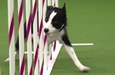 Watch this boss of a border collie absolutely blaze his way through an agility course