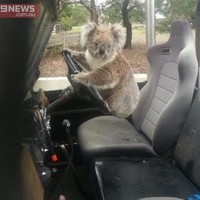 Look at this koala trying to 'steal' a Land Rover