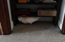 Cockatoo finds out it's going to the vet, and things get extremely creepy