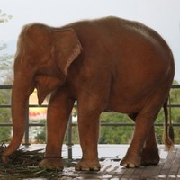 A rare white elephant has been captured in Burma