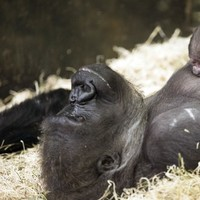 This gorilla checking out her baby sister proves that all new siblings are the same