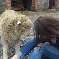 Dublin girl starts Facebook petition to save pet sheep from slaughterhouse