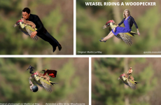 Here's how the internet reached peak meme with the #WeaselPecker