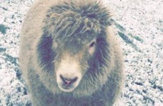 Ernie the pet sheep from Dublin has been saved from the slaughterhouse