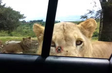 This heart-stopping footage of a lion opening a family's car door is going viral