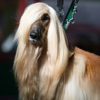 10 dogs with better hair than you at Crufts