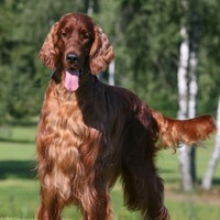 Second dog ill at Crufts after Irish Red Setter believed to be poisoned