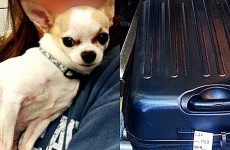 This little Chihuahua was found by airport security after sneaking into its owner's suitcase