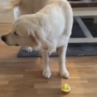 Golden retriever has the best reaction to tasting lemon for the first time