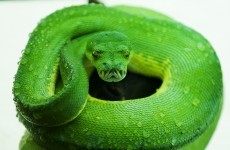 Dublin Zoo has a new snake and he's very, very green