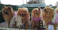 These dogs won a prize while dressed as Mick Wallace