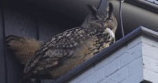 This 'rogue owl' has been terrorising a Dutch city for the past year...