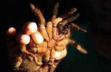 Super size me! The world's biggest spider and 8 other record-breakers