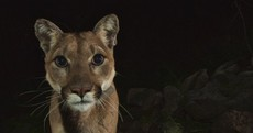 Check out these beautiful, super-rare photos of mountain lions up close
