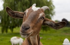 3 Midweek Longreads: Why are goat heads turning up on New York streets?