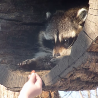This raccoon is you when you're mad at someone, but they offer you food