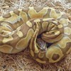 Thieves break into flat, steal two sacks of 38 snakes