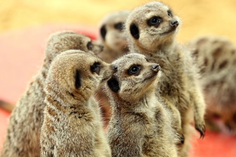 Nothing to do with the app itself, but who doesn't like seeing photos of meerkats?