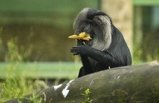 One of those escaped monkeys has been caught - but the other's still running wild