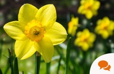 Sunny side up for spring! How to get a pop of colour with daffodils