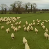 WATCH: Sheepdogs could be joining the dole queue if herding drones take off