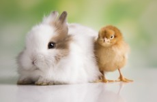 People are still buying rabbits and chicks 'on a whim' at Easter